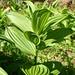 Die wechselständig angeordneten Blätter des Gemeinen Germers (Veratrum album)