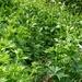 Ein Dickicht voller Giftpflanzen, vorwiegend Gemeiner Germer (Veratrum album) und Gelber Eisenhut (Aconitum vulparia). Der Weg führt mitten hindurch!