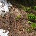 Kaum ist der Schnee weg, beginnt der Gemeine Germer zu spriessen.