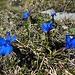 Frühlingsenziane auf der Alp Sigel