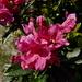 Rosa delle Alpi (Rododendrum ferrugineum)