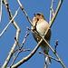Unterwegs am Гара Дзяржынская / Hara Dzyarzhynskaya - Insbesondere am Waldrand tummeln sich unzählige Vögel. Auch dieser Buchfink zwitschert hier fröhlich vor sich hin.