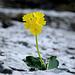 Aurikel (Primula auricula): Die Natur ist eine Künstlerin