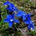 Frühlings Enzian