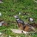 Murmeltiere auf der Teselalp III