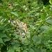 Die Tollkirsche (Atropa belladonna) ist am Mülibach bei Oberbuchsiten recht häufig anzutreffen.