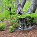 Buchenriesen bewohnen diesen Wald