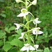 Orchidee Weiße Waldhyazinthe (Platanthera bifolia)