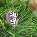 Das Schachbrett (Melanargia galathea) - ein Augenfalter, der sich - wie im Bild - auf Skabiosen-Flockenblumen sehr wohl fühlt. Ihn gibt es im Bliesgau zu Zigtausenden