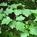 Laub der seltenen Elsbeere (Sorbus torminalis), einem bis 12 m hoch werdenden Baum, den man in warmen Eichen und Hainbuchenwälder findet. Die Elsbeere gehört zur gleichen Gattung wie Eberesche und Speierling.