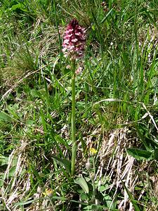 Orchis ustulata L.   Orchicaceae<br /><br />Orchide bruciacchiata.<br />Orchis brulé.<br />Schwärzliches Knabenkraut.