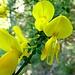 Besenginster - Diese Pflanze war auf dem ersten, bewaldeten Teil allgegenwärtig.