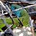 Westliche Smaragdeidechse, Männchen