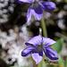 Probablement une violette de Rivinus (viola riviniana)