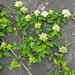 Hartriegel (Cornus sanguiena)