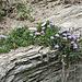 Am Wegrand die Herzblättrige Kugelblume (Globularia cordifolia)
