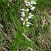 Auch die Manera ist vom Langblättrigen Waldvögelein gesäumt (Cephalanthera longifolia)