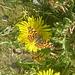 Landkärtchen (Frühjahrsform)