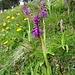 Knabenkraut, vermutlich Orchis mascula