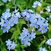 Blühende Wiesen mit Vergissmeinnicht, bei Wasserauen.