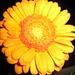 Meine Lieblingsblume in genau der richtigen Farbe: Gerbera