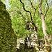 Riesiger Kastanien-Mathusalem oberhalb Gnosca