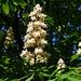 Blütenstand der Gewöhnlichen Rosskastanie (Aesculus hippocastanum).