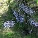 Mauerreste der Ruine Schanz, auch Wild-Eptingen genannt, beim Gipfel der Eichelbergflue. Über die Burg aus dem Frühmittelalter ist sehr wenig bekannt.