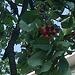 <b>Nel frattempo, nel Mendrisiotto le ciliegie sono già mature.</b>