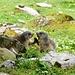 Murmeltiere auf der Teselalp