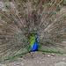 """Im """"Bergtierpark"""" breitet ein stolzer Pfauenhahn sein prächtiges Federkleid aus"""
