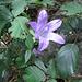 Campanula trachelium L.   Campanulaceae  Campanula selvatica, Campanula a foglie d'ortica. Campanule gantelée. Nesselblättrige Glockenblume.