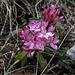 Auf diesem Südhang blühen schon die schönen Steinröserl<br /><br />Su questo pendio sud fiorisce già la bella Daphne striata
