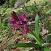 Knabenkraut Orchis