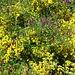 Ginster und andere Blumen