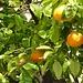 Orangen an den Bäumen in Alassio