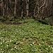 Unterwegs am Гара Лысая / Hara Lysaya - Vorbei an unzähligen Buschwindröschen.