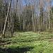 Unterwegs am Гара Лысая / Hara Lysaya - Waldboden in Gelb-Weiß.<br />Übrigens: Hatten wir schon erwähnt, dass es hier unzählige Buschwindröschen gibt.