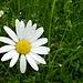 Regentropfen auf der einfachen, doch schmucken Blume