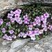 nordseitig, noch halbwegs vereist, die Blumenpracht im Schiefer