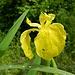 einige dieser leuchtenden Lilien treffen wir an, hier sogar an der Sonne ...