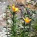 In der Wand blühen Feuerlilien