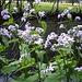 Wilde Mondviole (Lunaria rediviva) am Ufer der Orbe