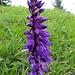 Unbekannte Blume oder evtl. Knabenkraut ?