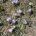 <b>Crocus albiflorus. Il 97% circa dei fiori sono bianchi, il 3 % viola.</b>