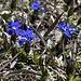 <b>Genzianella minore o di primavera (Gentiana verna).</b>