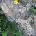 Hemerocallis lilio-asphodelus L.   <br />Xanthorrhoaceae (Liliaceae p.p.)<br /><br />Giglio dorato.<br />Hémérocalle jaune.<br />Gelbe Taglilie.