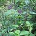 Aquilegia atrata W.D.J.Koch   <br />Ranunculaceae<br /><br />Aquilegia scura.<br />Ancoile noiratre.<br />Dunkle Akelei.