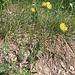 Anthyllis vulneraria L.s.str.   <br />Fabaceae<br /><br />Vulneraria comune.<br />Anthyllide vulnérairie.<br />Gewoehnlicher Wundklee.