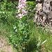Dictamnus albus L.   <br />Rutaceae<br /><br />Dittamo, Frassinella, Limonella.<br />Dictame blanc.<br />Weisser Diptam.